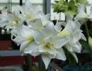 Цветы гиппеаструм