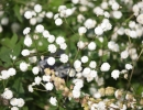 Гипсофила метельчатая (Gypsophila paniculata)