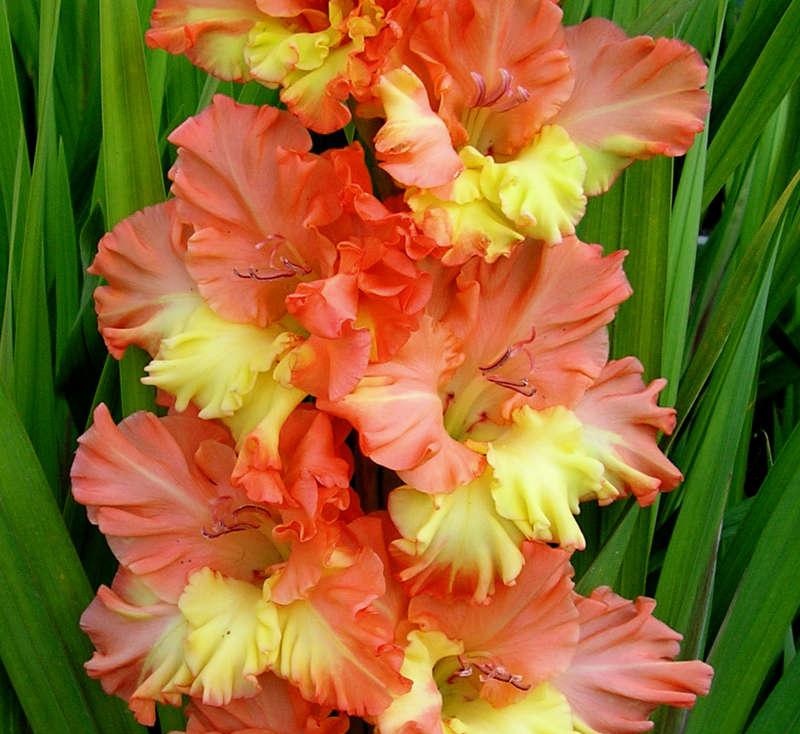Как выглядят цветы гладиолусы