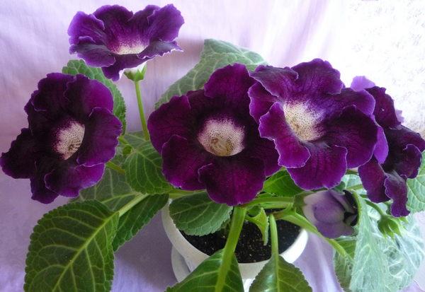 Глоксиния комнатная: фото цветов, описание, уход 22