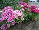 Фото цветов. Годеция