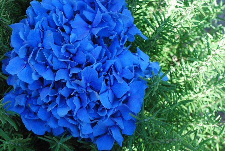 Голубая гортензия сорта
