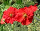 Два цветка красного гравилата