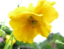 Цветок гравилата чилийского