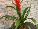 Красивое растение гузмания