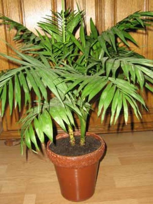 пальмы домашние  уход