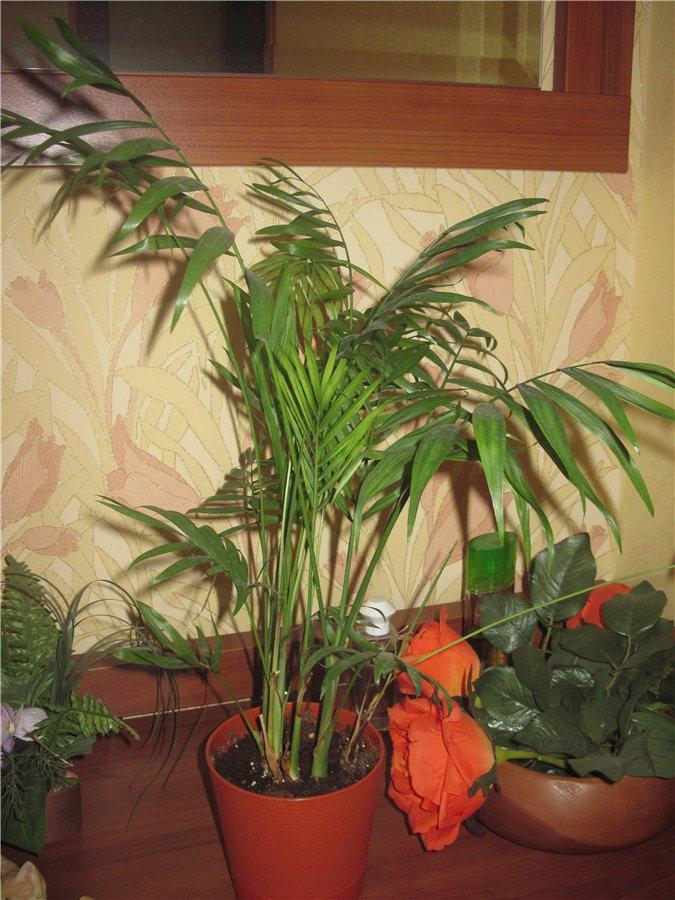 Цветы хамедорея уход в домашних условиях фото 1