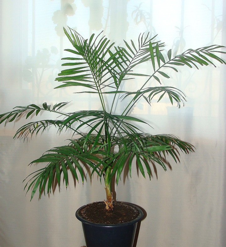 Пальмы в домашних условиях хамедорея