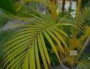 Хризалидокарпус желтоватый