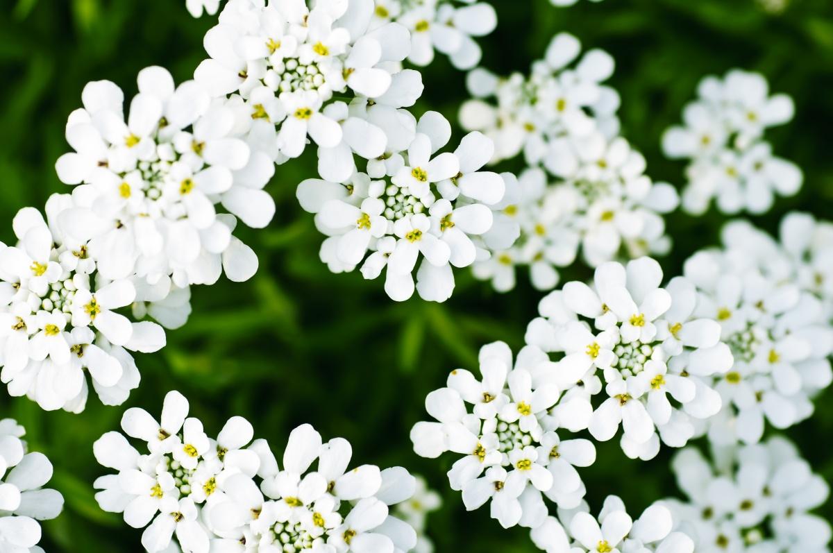 Иберис цветы выращивание 36