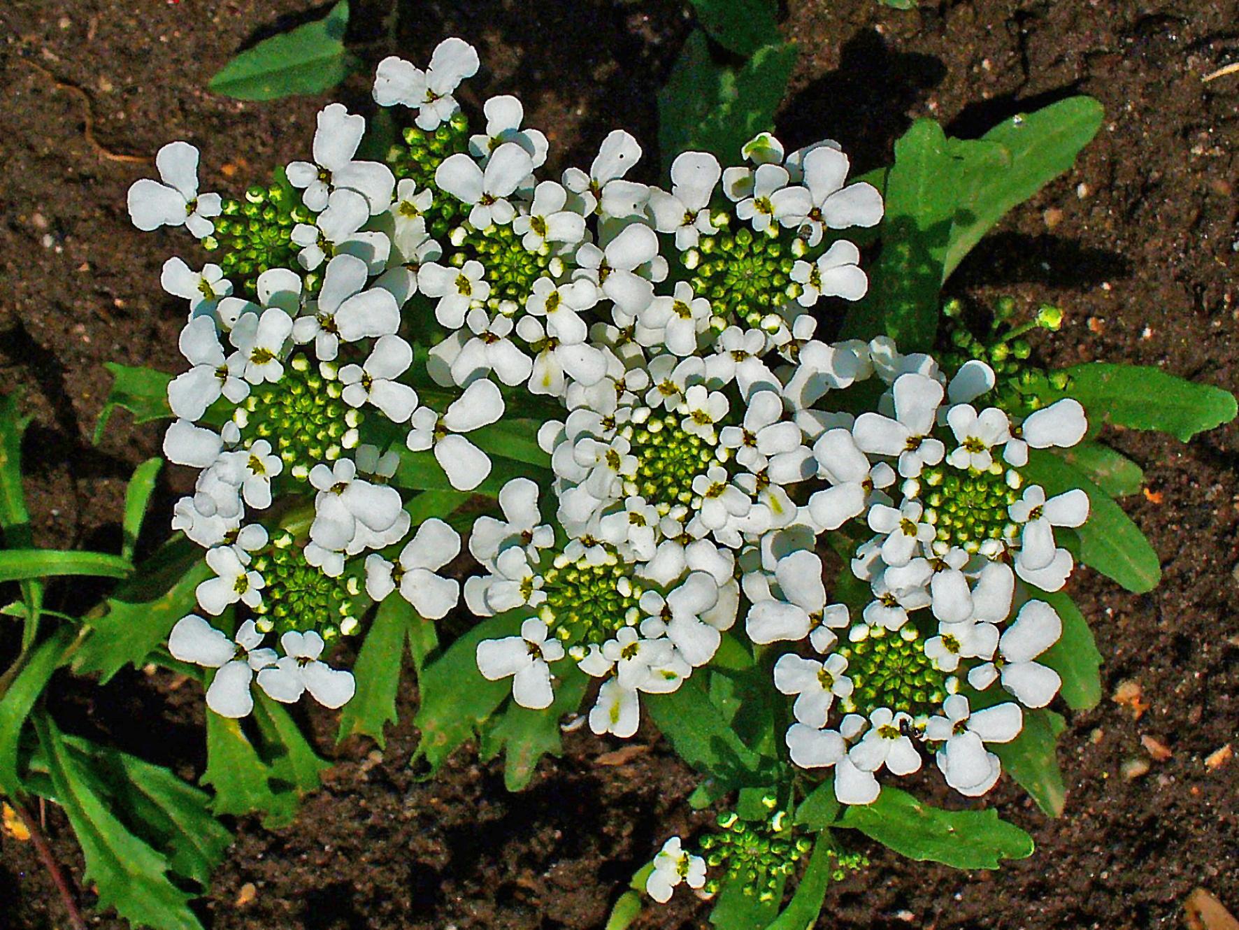 Выращивание иберис зонтичный 69