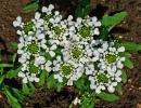 Иберис горький (Iberis amara)