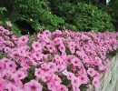 Розовая ипомея