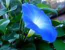Ипомея Синяя Звезда