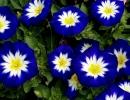 Синяя ипомея