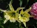 Два цветка исмене