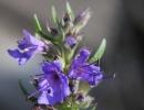 Цветок иссопа