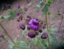 Кальцеолярия пурпурная