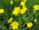 Цветы желтой календулы