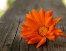 Цветок ноготка