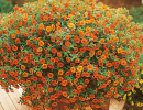 Оранжевая калибрахоа