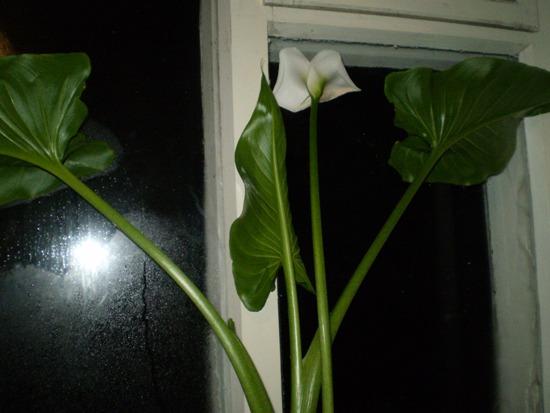 Цветок каллы с листьями фото