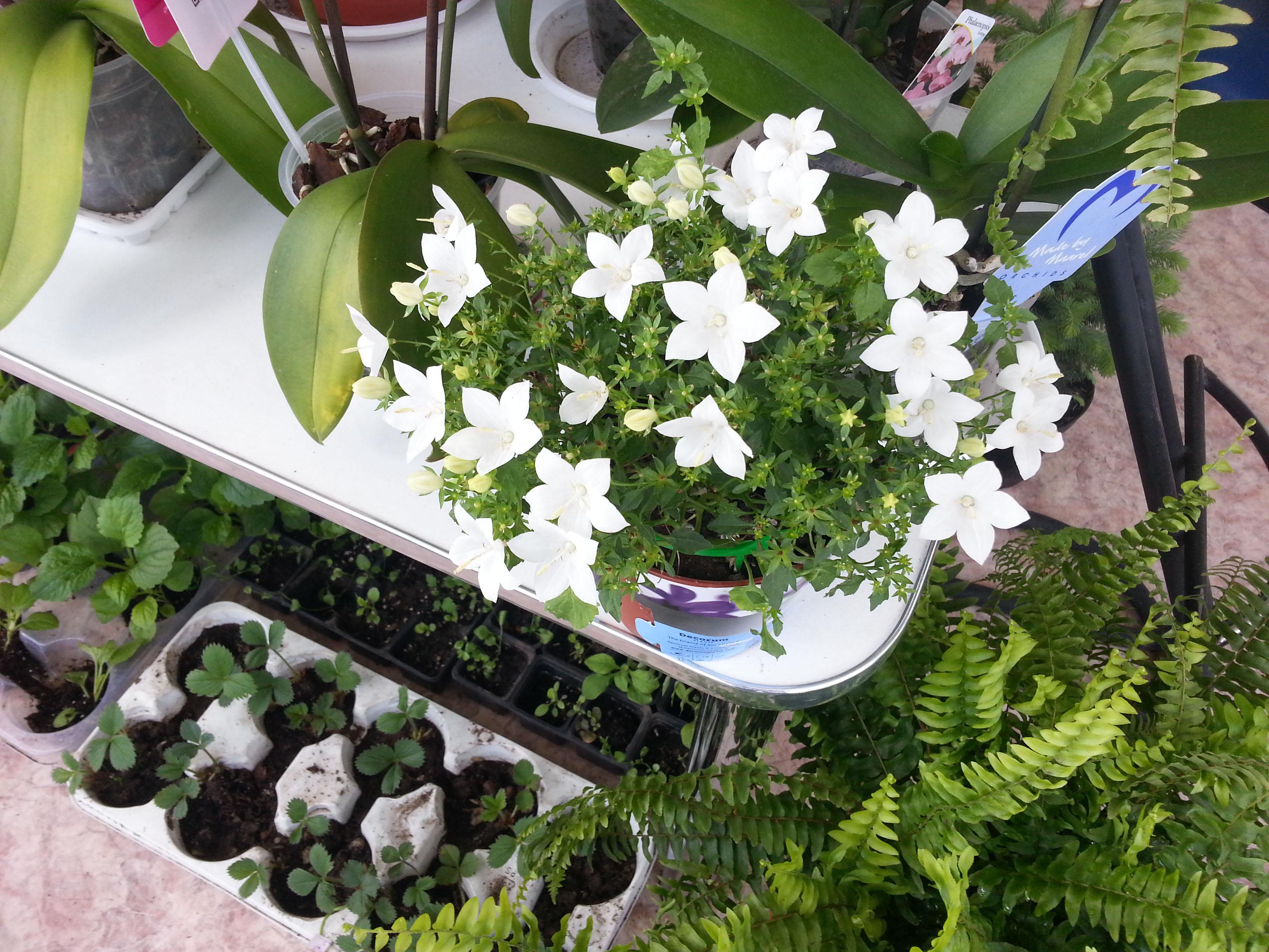 Невеста цветок уход в домашних условиях фото 345