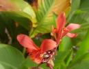 Цветы канны посадка и уход фото