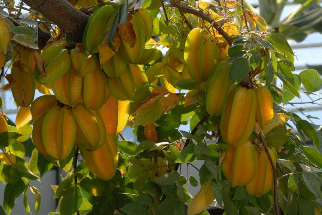 Карамбола выращивание в домашних условиях 69