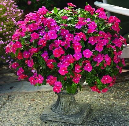 катарантус фото цветы