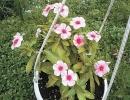 Катарантус фото цветка