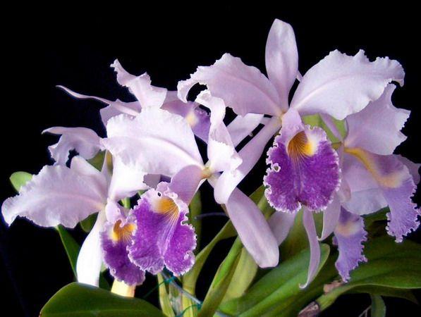 Каттлея фото цветок