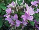 Клеома цветок