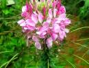 Фото. Клеома цветок