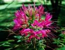 Фото. Клеома растение