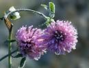 Два цветка ползучего клевера