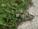 Белый клевер в естественной среде