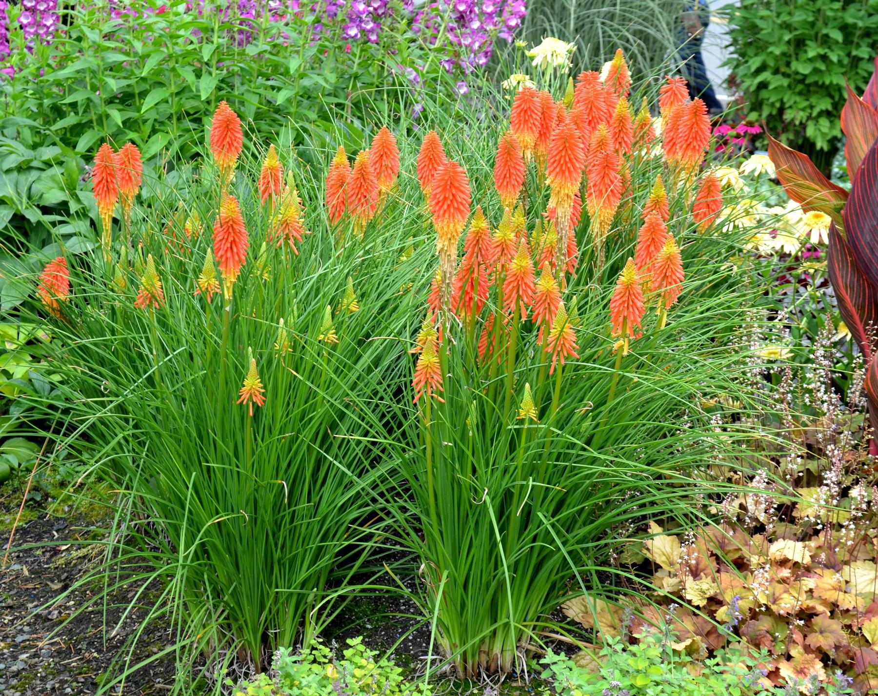 Книфофия: посадка и уход в открытом грунте, фото, размножение сорта, выращивание и сочетание в ландшафтном дизайне