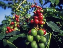 Зерна спелого и неспелого кофе