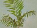 Кокосовая пальма сорт Кокос Ведделя (C. Weddeliana)