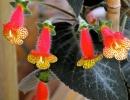 Колерия цветущая