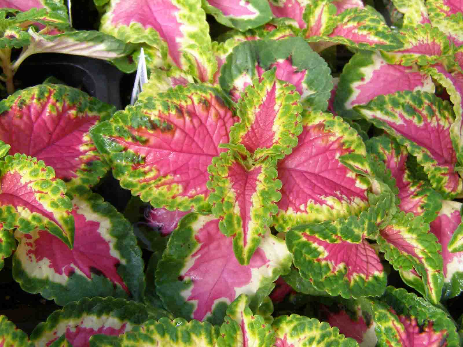 Растение с листьями розового цвета