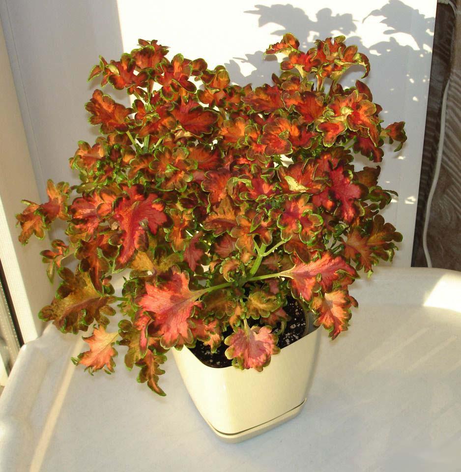 Купить семена Семена комнатных растений и цветов