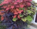 Цветы колеус