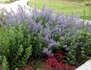 Котовник среди других цветов