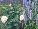 Котовник рядом с розами