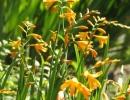 Желтые цветки крокосмии