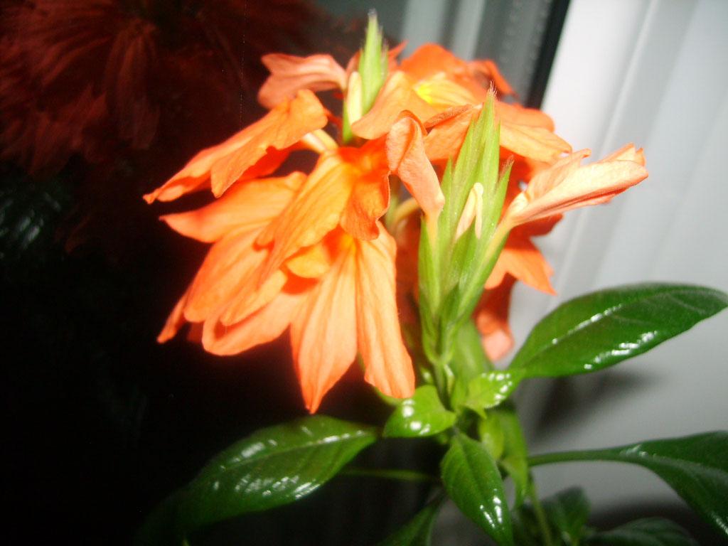 Выращивание кроссандры в домашних условиях 314