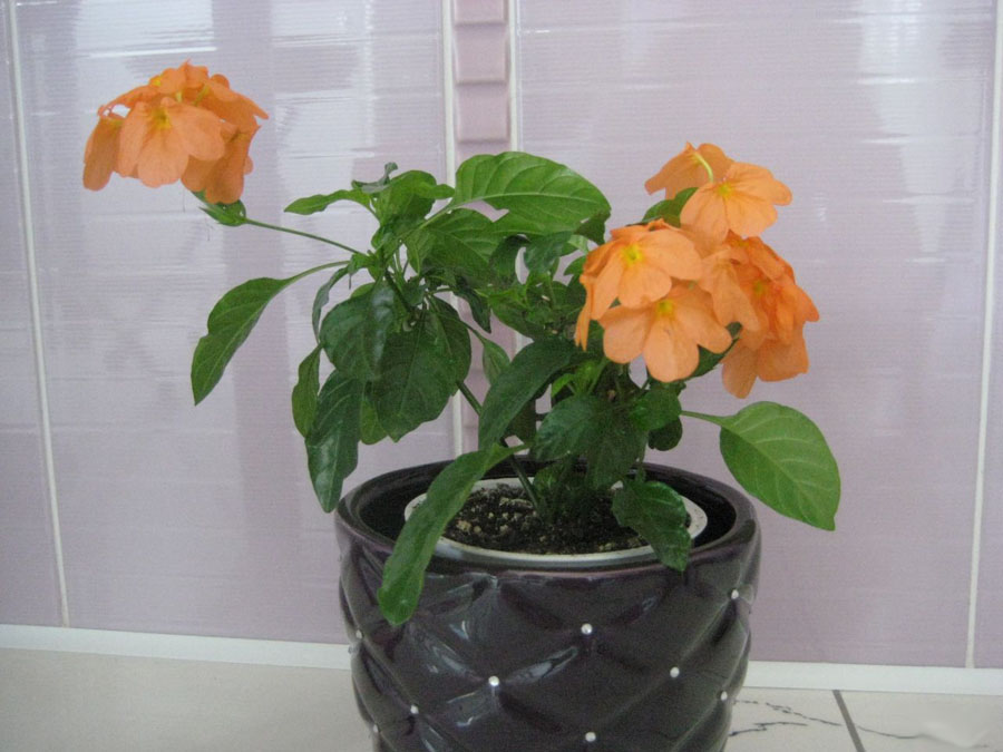 Цветок кроссандра уход в домашних условиях