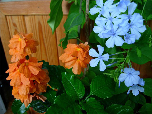 Кроссандра комнатный цветок фото